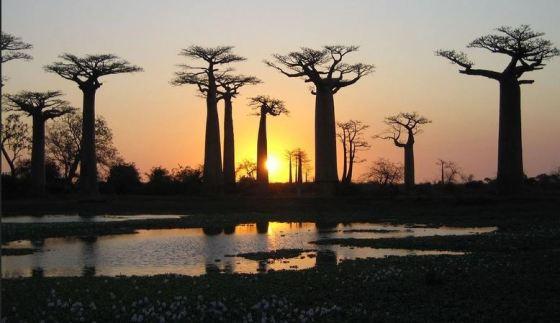 Les baobabs, ces géants